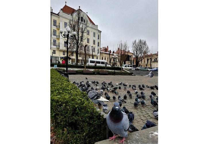 Чернівецькі голуби / фото Марина Григоренко