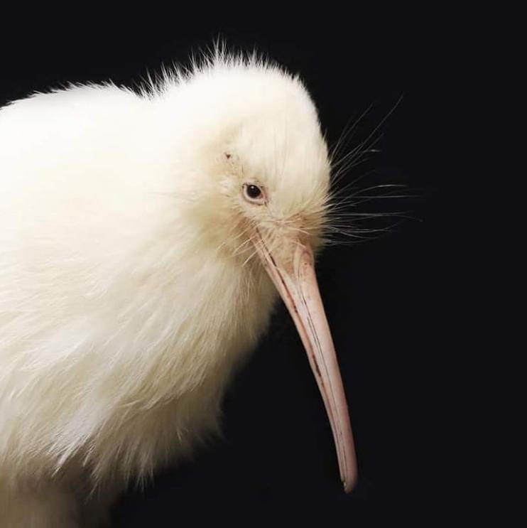 В Новой Зеландии умерла птица киви-альбинос по имени Манукура/ фото instagram pukahanz