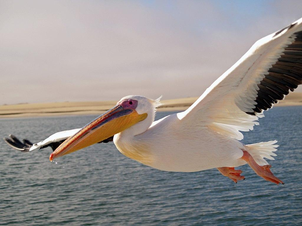 Пеликаны улетят на Юг, как только почувствуют надвигающиеся морозы / фото Википедия