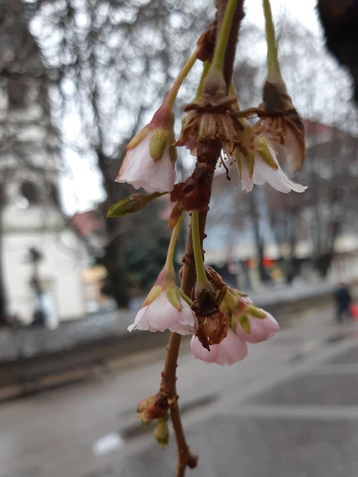 На Закарпатье сакура расцвела в января / фото Игорь Гуледза, Facebook