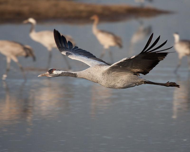 В заповеднике на Херсонщине вымерло много редких птиц / фото Википедия