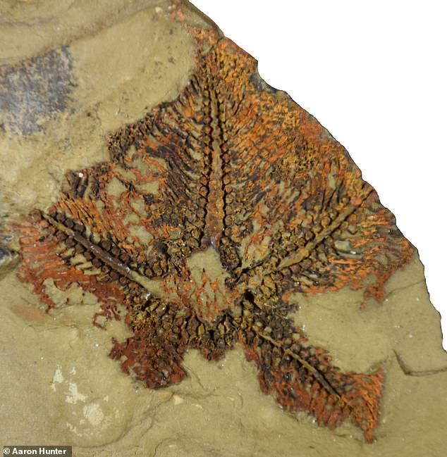 Новый вид названCantabrigiaster fezouataensis / фото Aaron Hunter