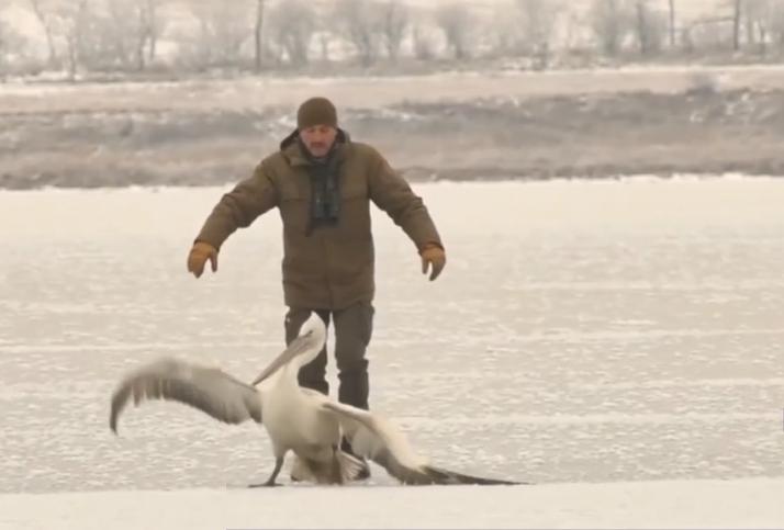 У врятованого пелікана травмоване крило / скріншот з відео