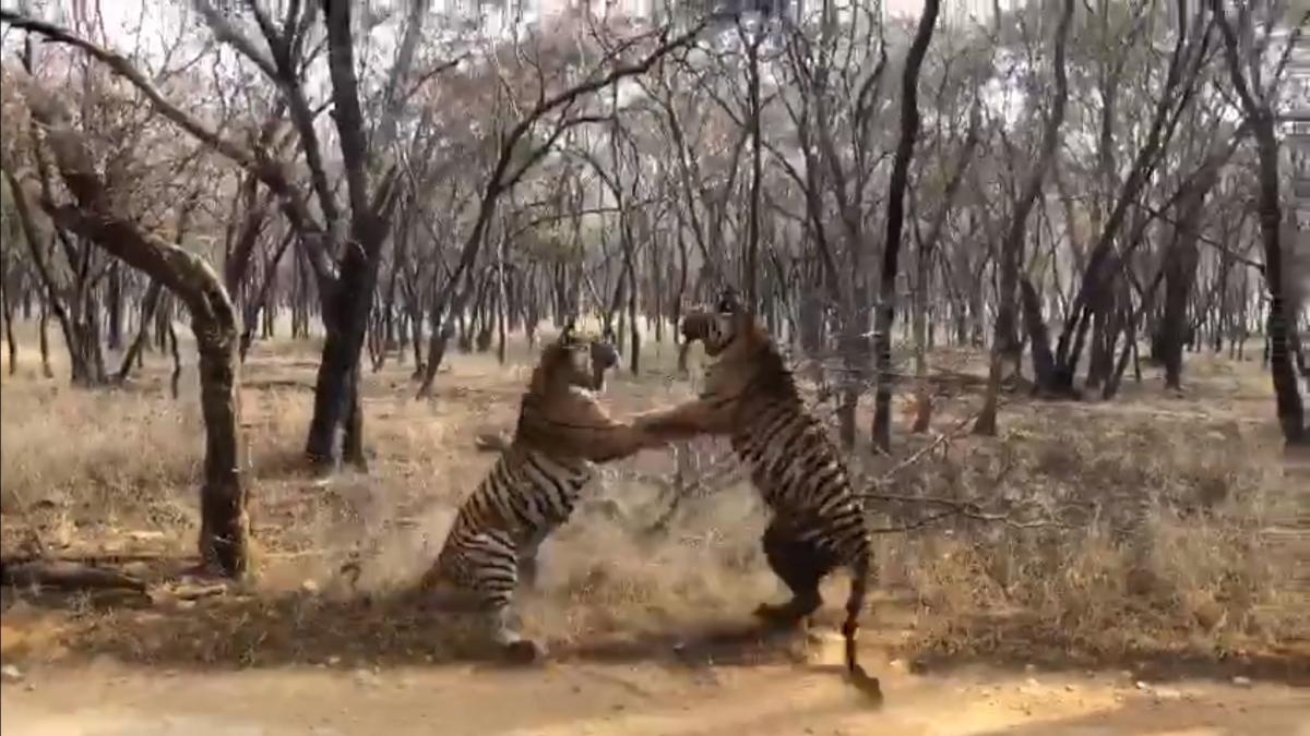 Победителем схватки оказался тигр, который напал первым/ скриншот из видео
