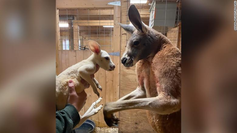 У кенгуру діагностували лейкізм / фото Animal Adventure Park
