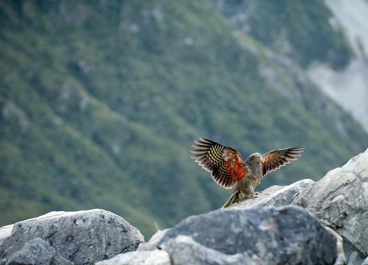 Попугаи кеа в дикой природе живут только в Новой Зеландии / фото ua.depositphotos.com
