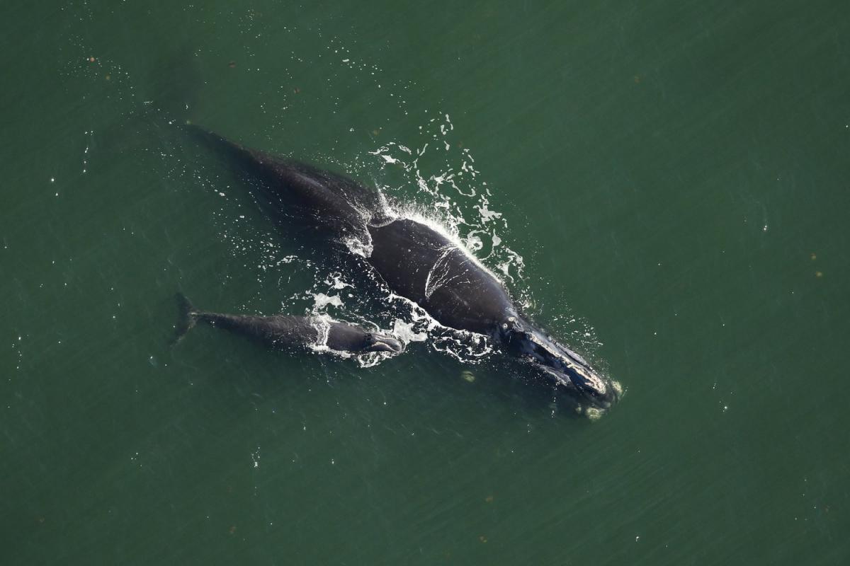 Північні гладкі кити на межі вимирання / фото nat-geo