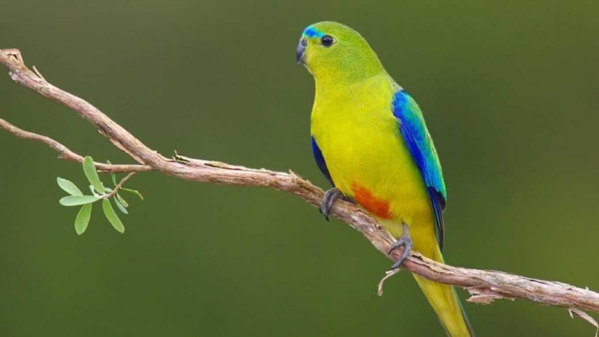 Золотистобрюхие травяные попугаи / фото chirik.info