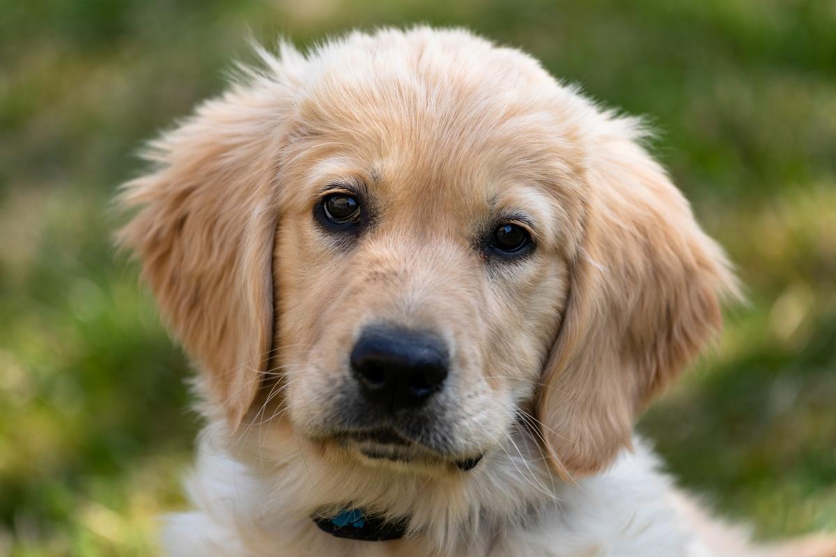 3 февраля - День золотистого ретривера / фото moderndogmastery.com