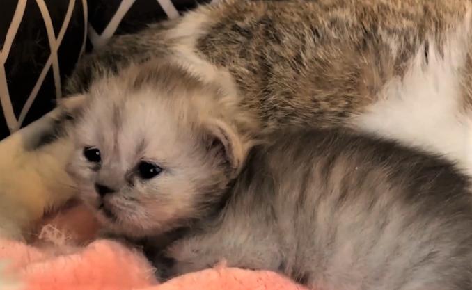 Клонированный котенок родился от суррогатной матери / фото ТСН