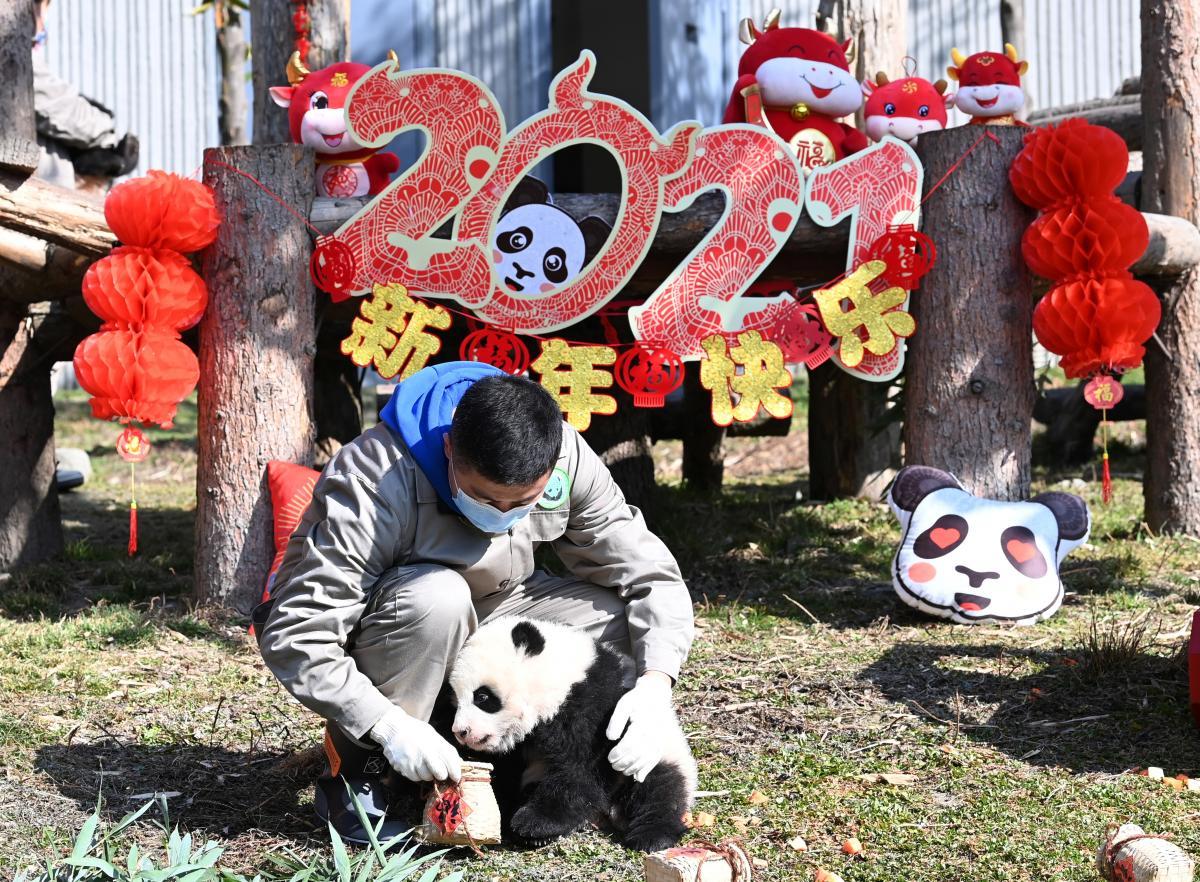 Китайский питомник панд показал пополнение / REUTERS