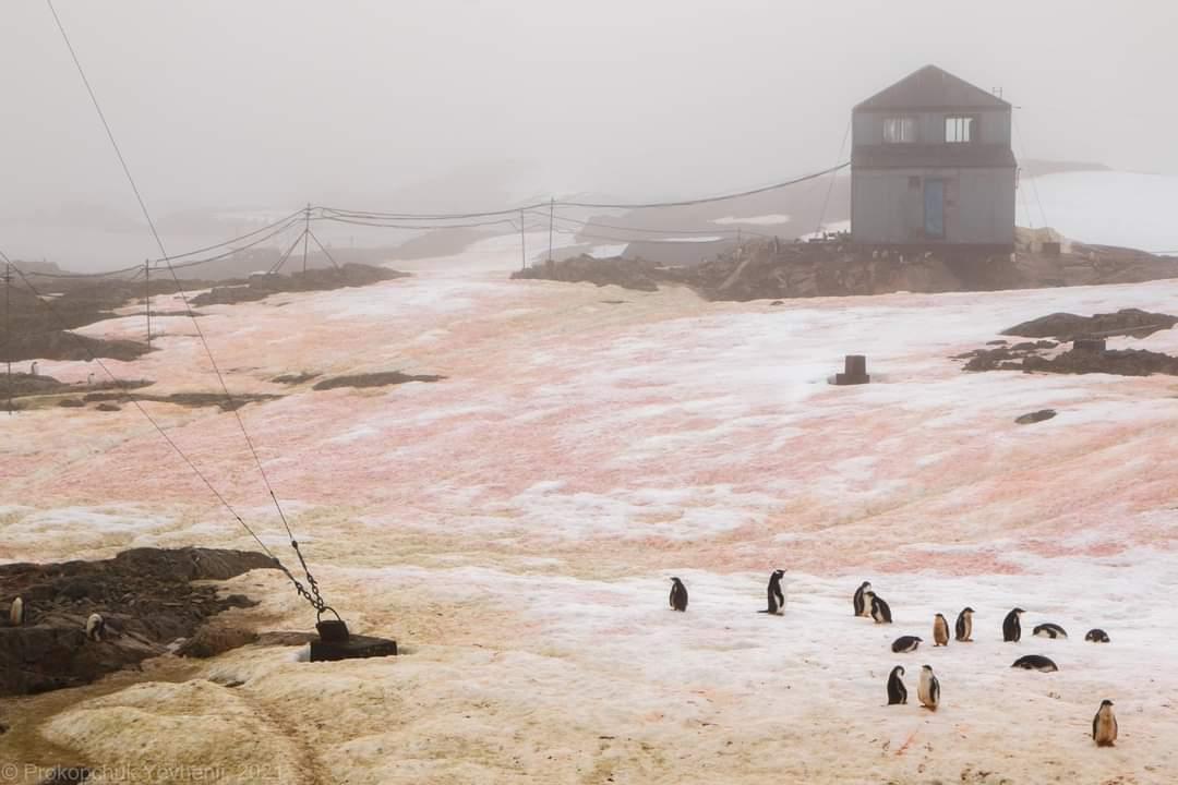 Сніг в Антарктиді став кольоровим / фото Євген Прокопчук