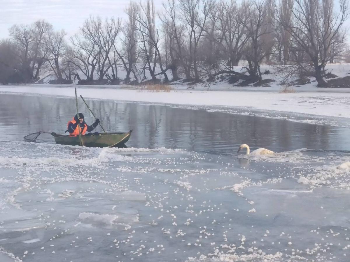 На річці Південний Буг лебідь вмерз у лід, його врятували / фото ДСНС