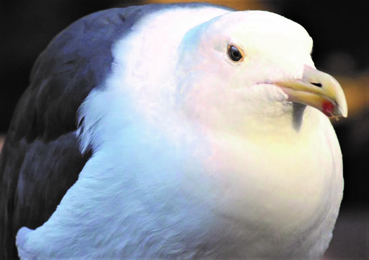 Місцева влада скаржиться, що розтовстілі птахи бродять вулицями та «псують репутацію респектабельних кварталів» / фото Gulf Daily News