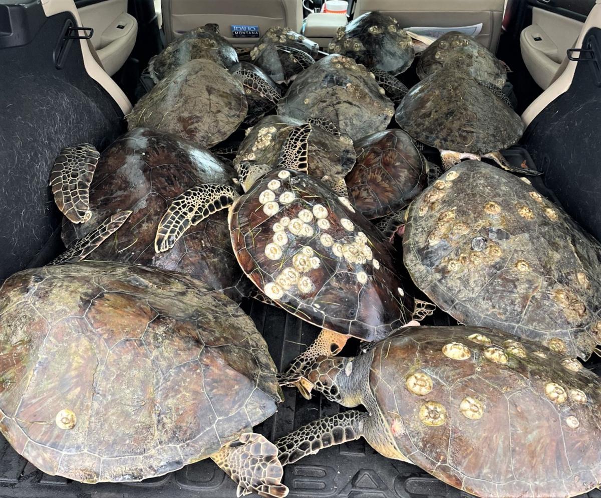 Местные жители и волонтеры вывозятчерепах на лодках и машинах, отогревают и пытаются вернуть к жизни / фото twitter.com/lara_hand