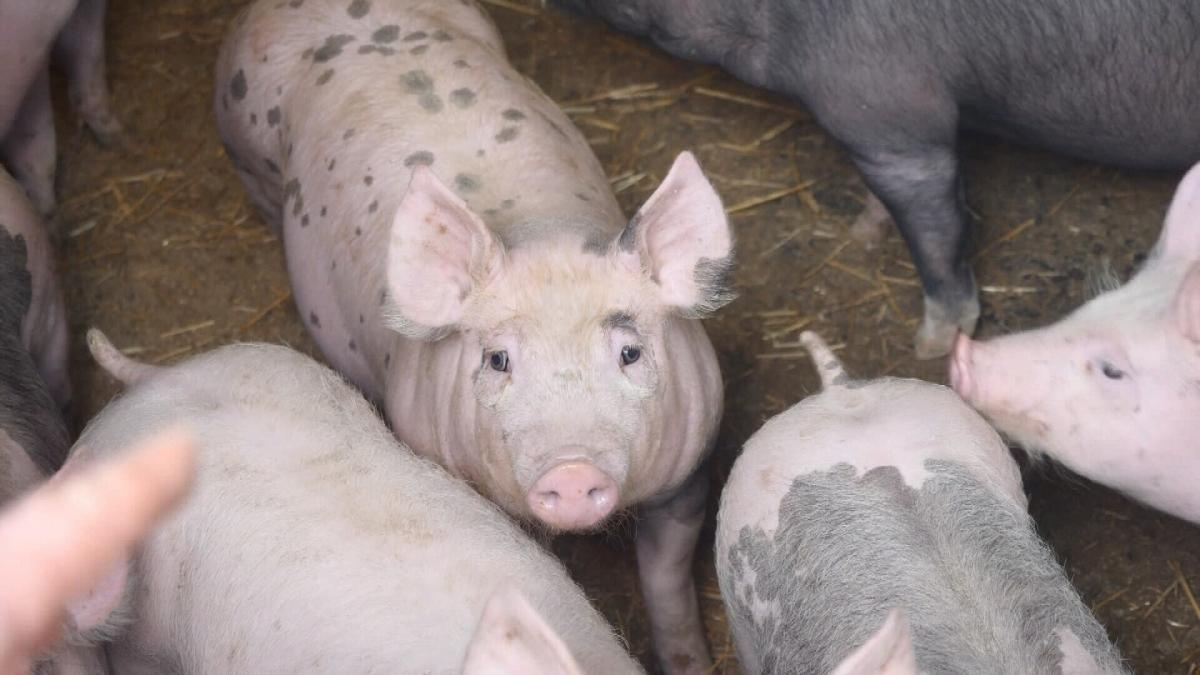 За минулі п'ять років споживання свинини в Україні зменшилося на третину – з 21 кг до 14 кг