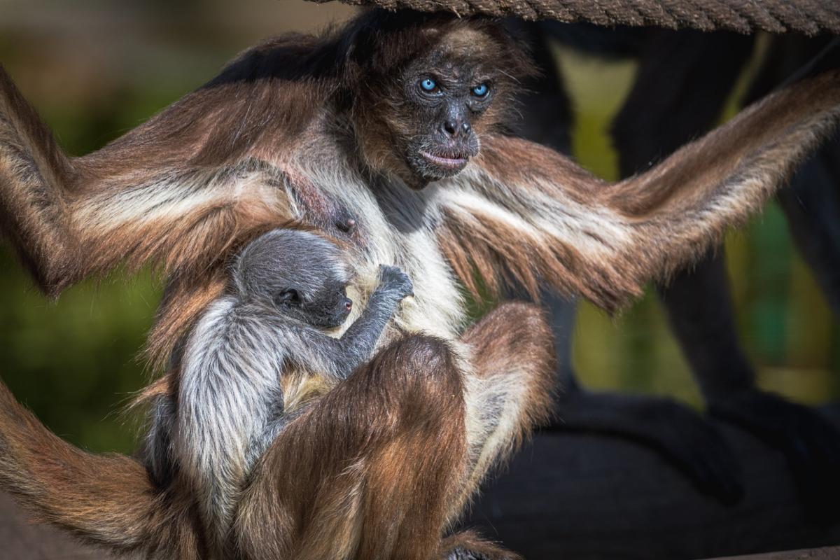 Мама не покидає дитинча ні на хвилину / фото facebook.com/ZooBarcelona