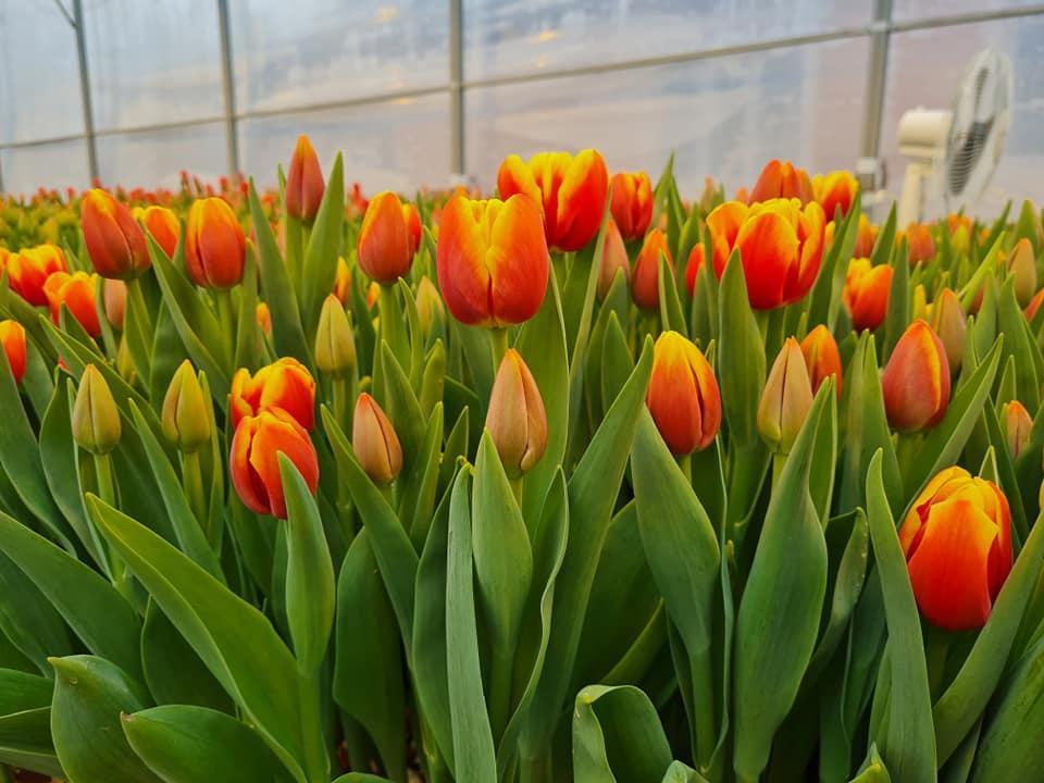 Выращиванием тюльпанов занимаются как студенты, так и преподаватели / фото Василия Савченко