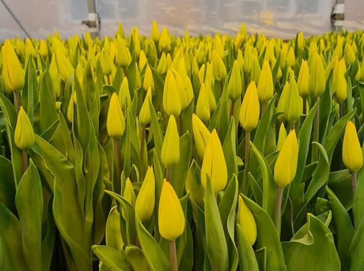 Полностью тюльпаны должны расцвести к 8 марта / фото Василия Савченко