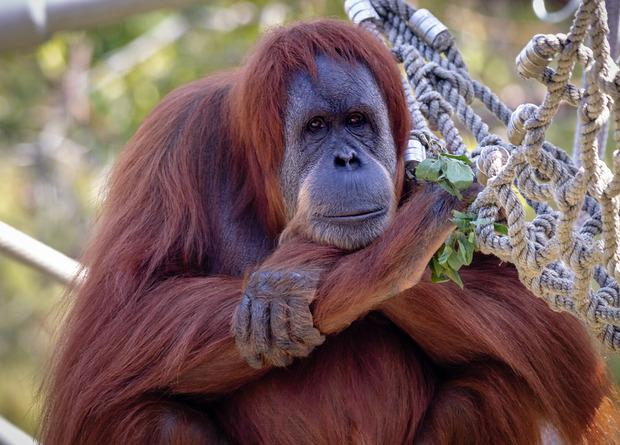 На решение привить орангутанов и бонобо повлияло заражение COVID-19 восьми горилл в начале января/ фото Flickr
