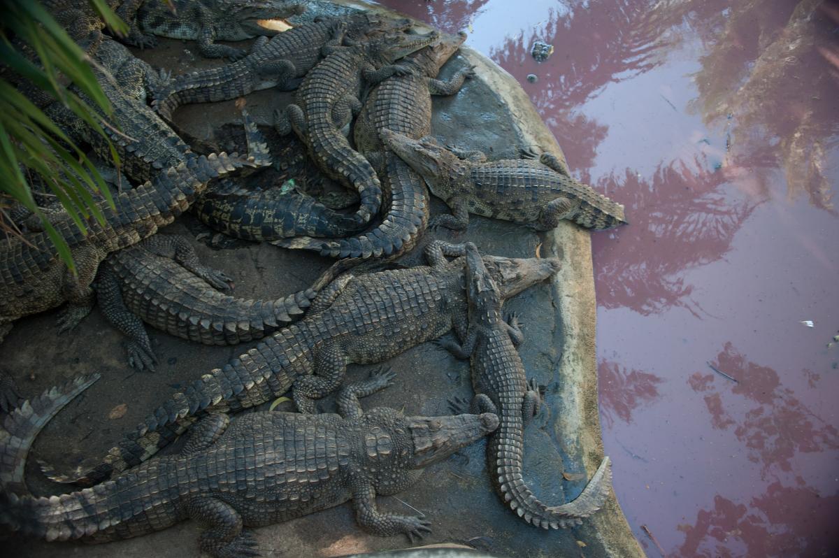 У шлунку алігатора знайшли артефакти / фото ua.depositphotos.com