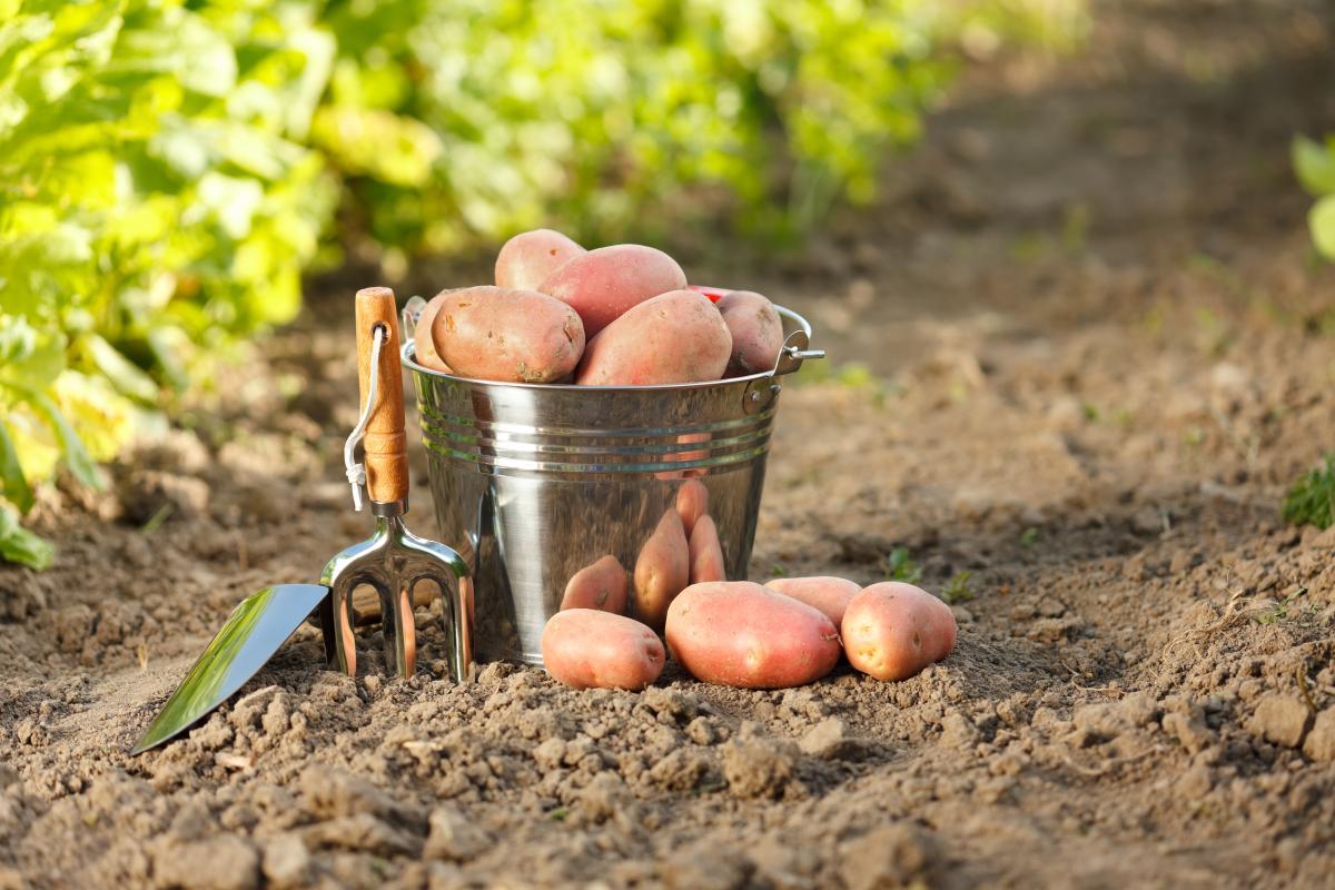 Когда и как сажать картофель в 2021 году для хорошего урожая / фото ua.depositphotos.com