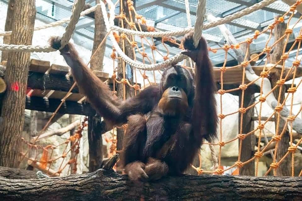 Суматранскому орангутану Жоре исполнилось 14 лет / фото instagram.com/kharkov_zoo/