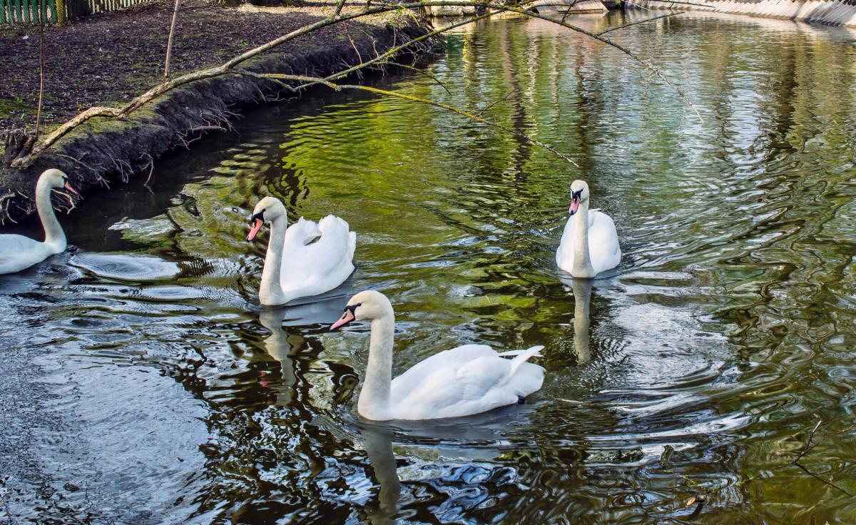 От птичьего гриппа в Тернополе погибли три лебеди-шипуны, одна казарка и одна мускусная утка / фото facebook.com/tarnopil