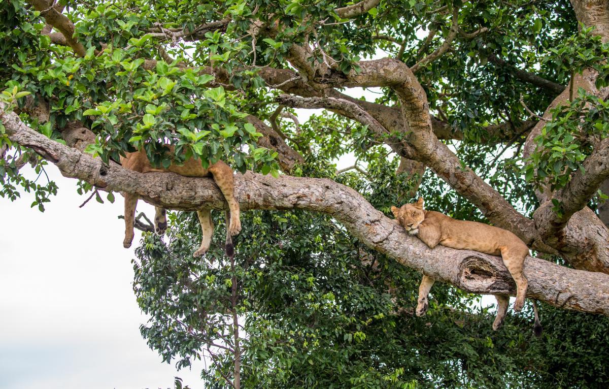 Львы в Национальномпарке королевы Елизаветы известны своей способностью лазить по деревьям / фото ua.depositphotos.com