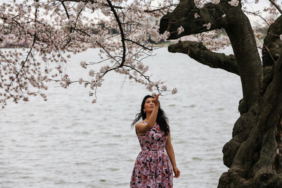 В Вашингтоне пик сезона цветения сакуры / фото REUTERS