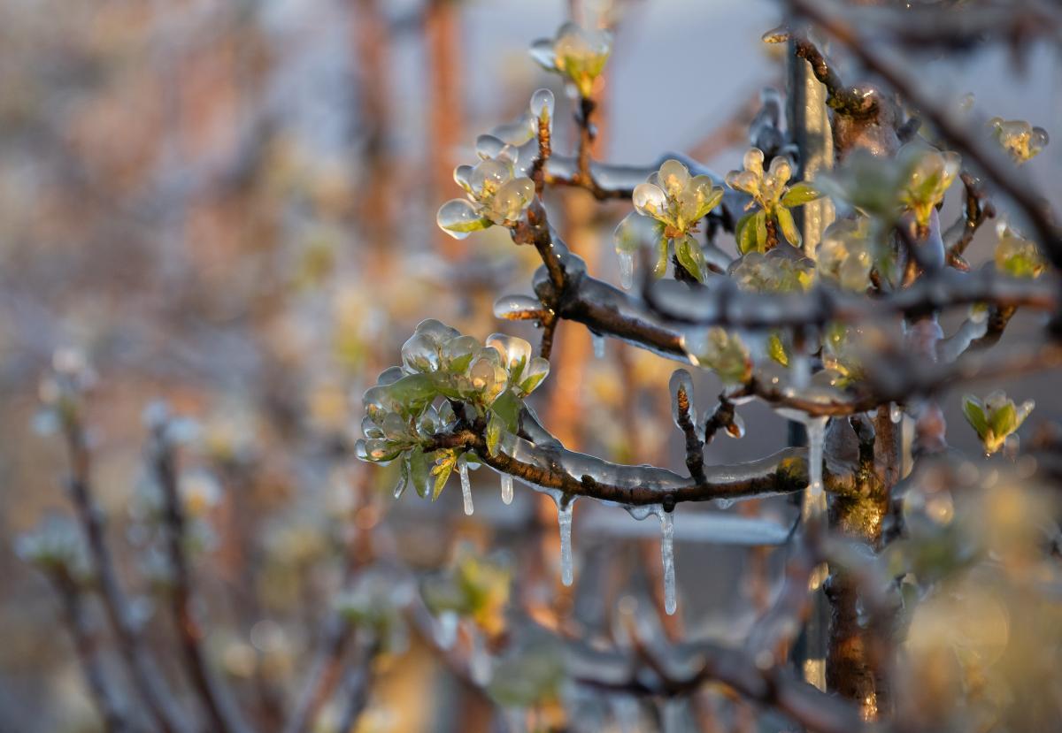 Порятунок фруктових садів в Австрії / фото REUTERS