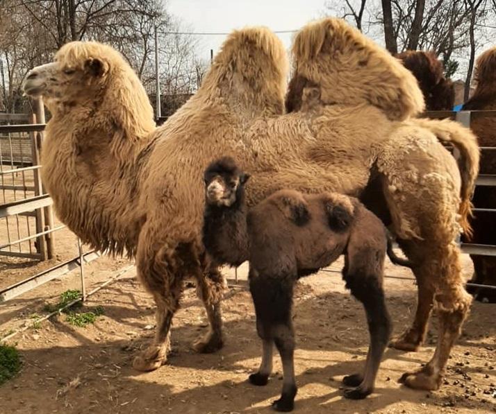 Верблюденя народилося наприкінці минулого тижня \ facebook.com/zmeybelyakov