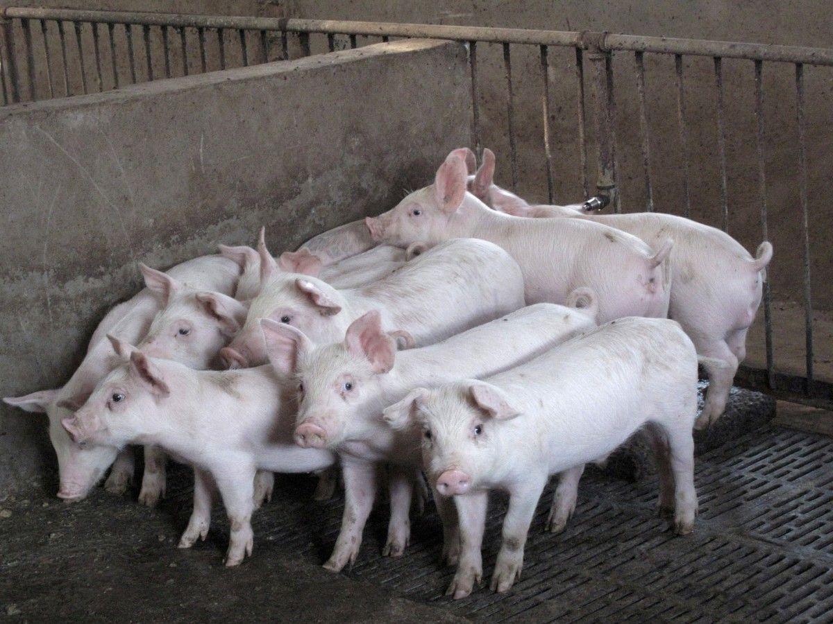 В течениенесколькихдней на ферме погибли более 400 свиней / Иллюстрация REUTERS