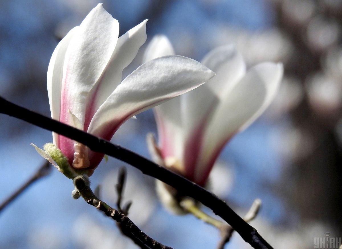 У ботанічному саду імені О. Фоміна в Києві квітнуть магнолії / фото УНІАН, Олександр Синиця