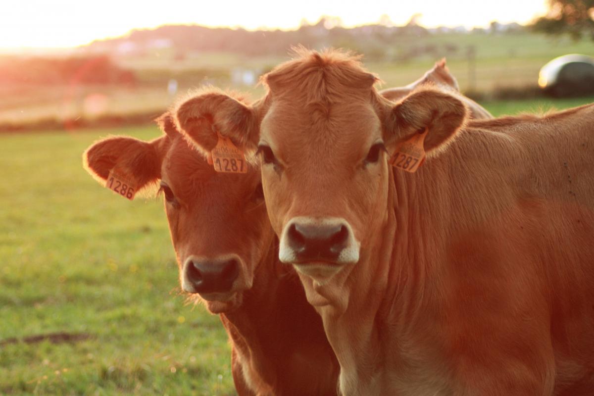 В Україні стали менше розводити корів / фото ua.depositphotos.com