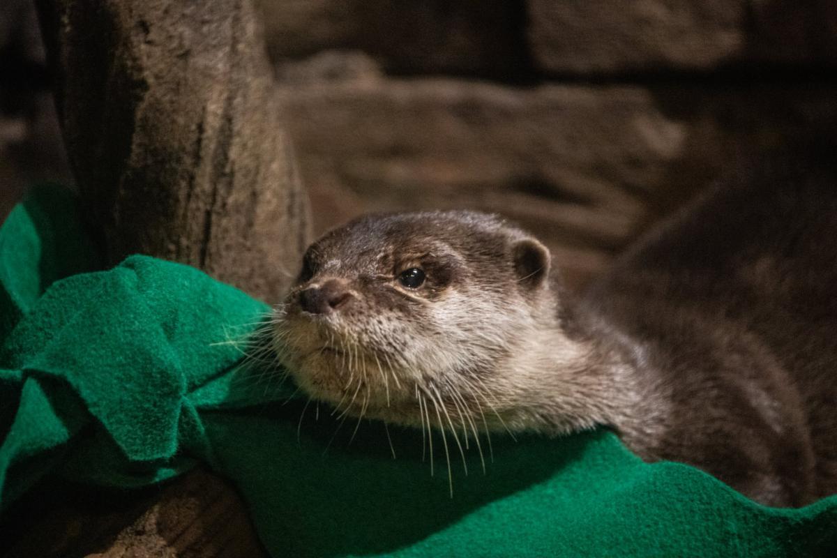 Некоторые выдры начали кашлять / фото Georgia Aquarium