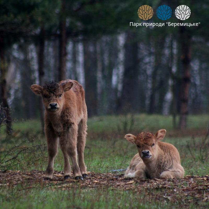 """В этом году семь новых телят увеличили популяцию / фото Парк природы """"Беремицкое"""""""