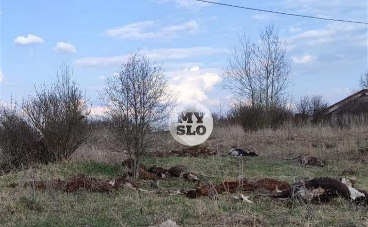 В России в поле нашли тела мертвых коров / фото myslo.ru