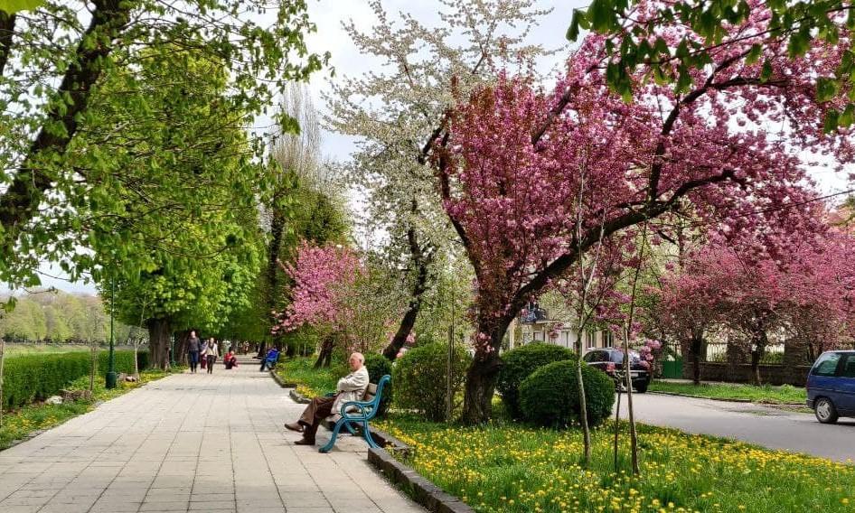 Наибольшее количество деревьев японской вишни высажено в Ужгороде / фото УНИАН