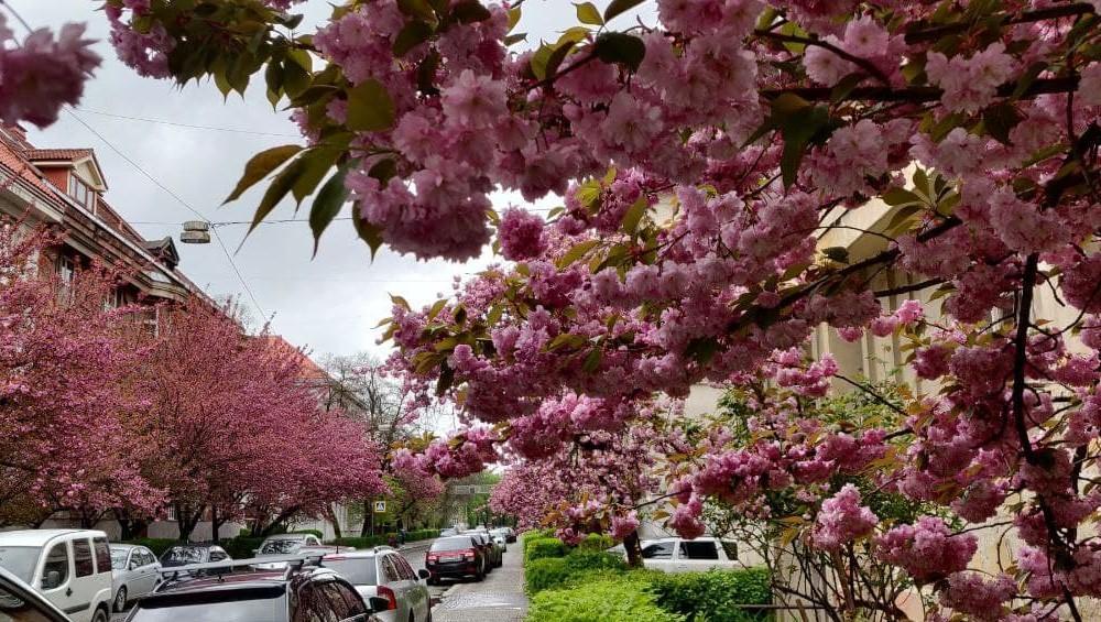 На Закарпатье насчитывают около 50 тысяч деревьев сакуры / фото УНИАН