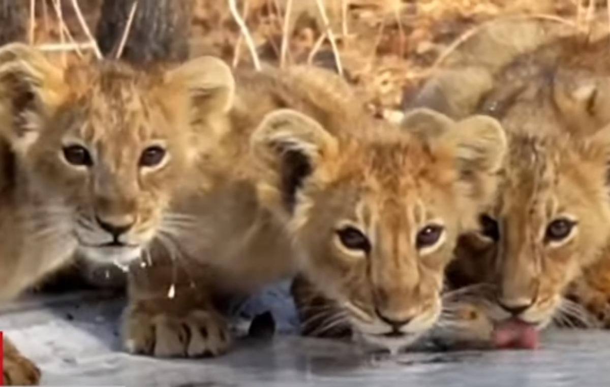 В Индии аномальная жара: в уникальном заповеднике сделали водопои для львов