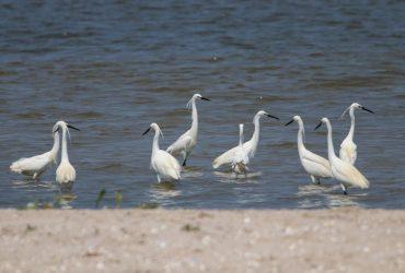 У заповідник під Одесою прилетіли малі білі чаплі (фото)