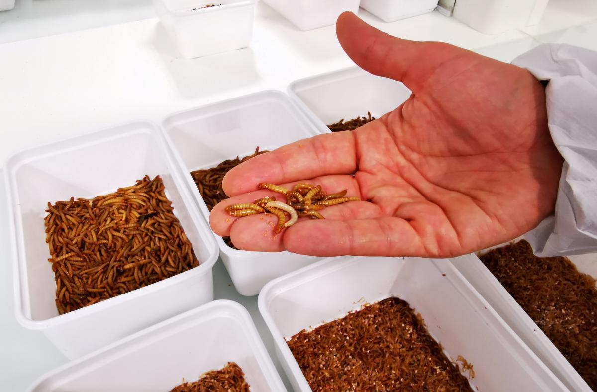 Мучные черви - личиночная форма большого мучного хрущака / фото REUTERS