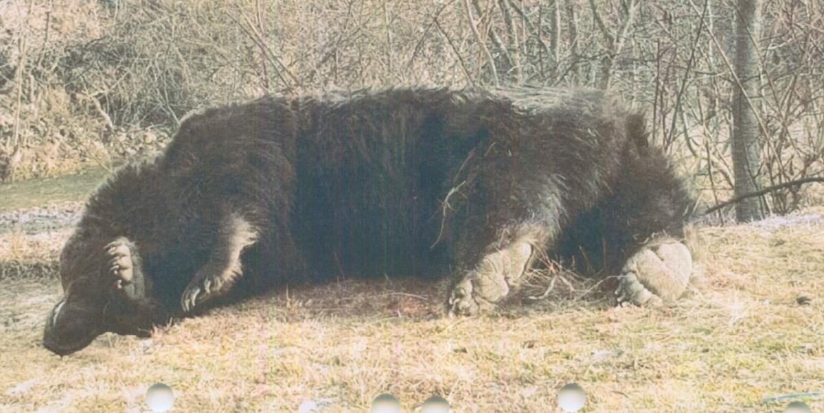 Принца обвинили в намеренном убийстве медведя / фото agentgreen.rо
