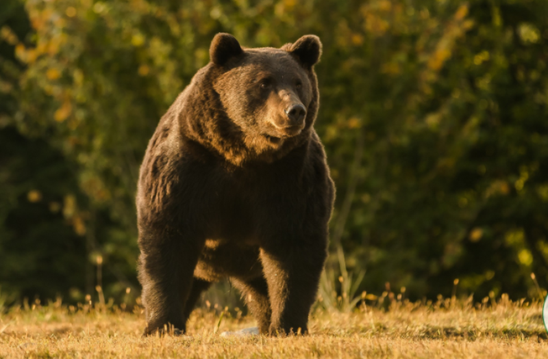 Медведь по кличке Артур / фото agentgreen.rо
