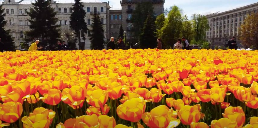 Тюльпаны в столицу Украины привезли из Королевства Нидерланды / скриншот