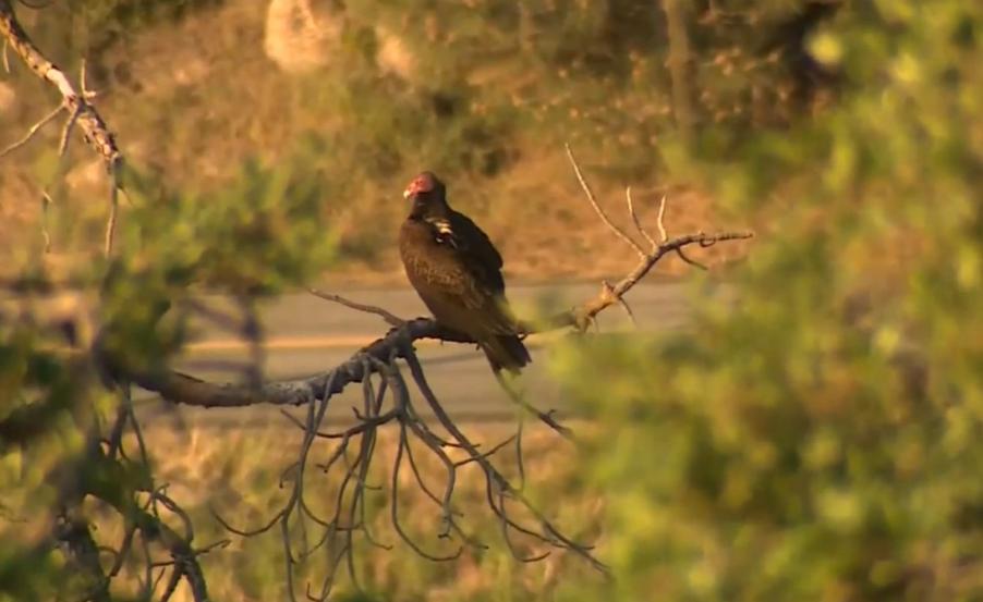 Кондор - крупнейшая из птиц, способных к полету / Скриншот