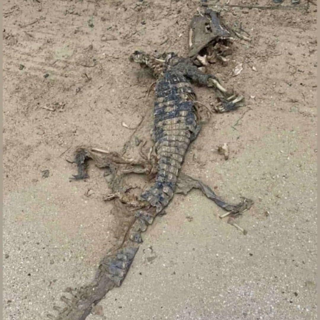 """У Кирилівці знайшли мертвого крокодила / фото t.me """"ЦеЗапоріжжя"""""""