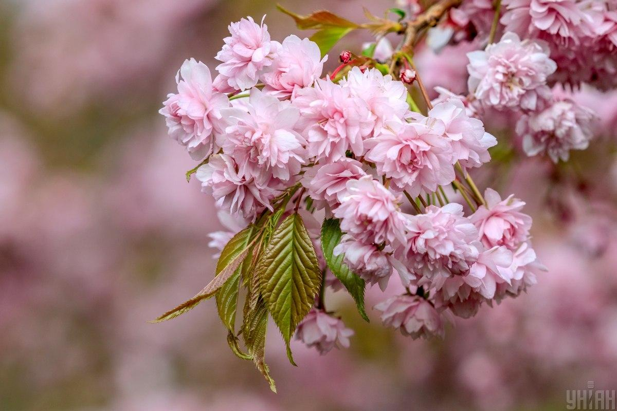 Ілюстрація: квітка сакури / фото УНІАН