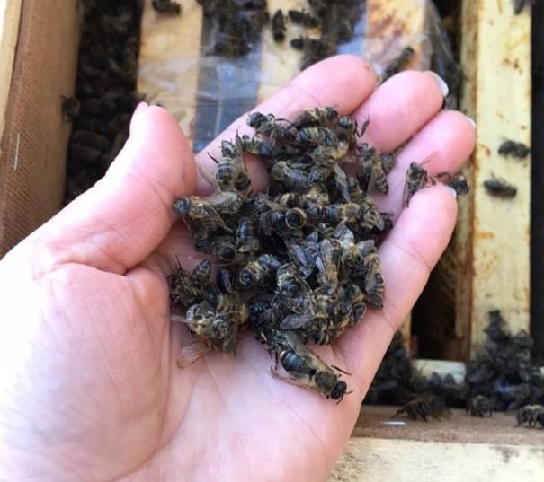 На Закарпатье погибли миллионы пчел / Телеграмм Виталий Глагола